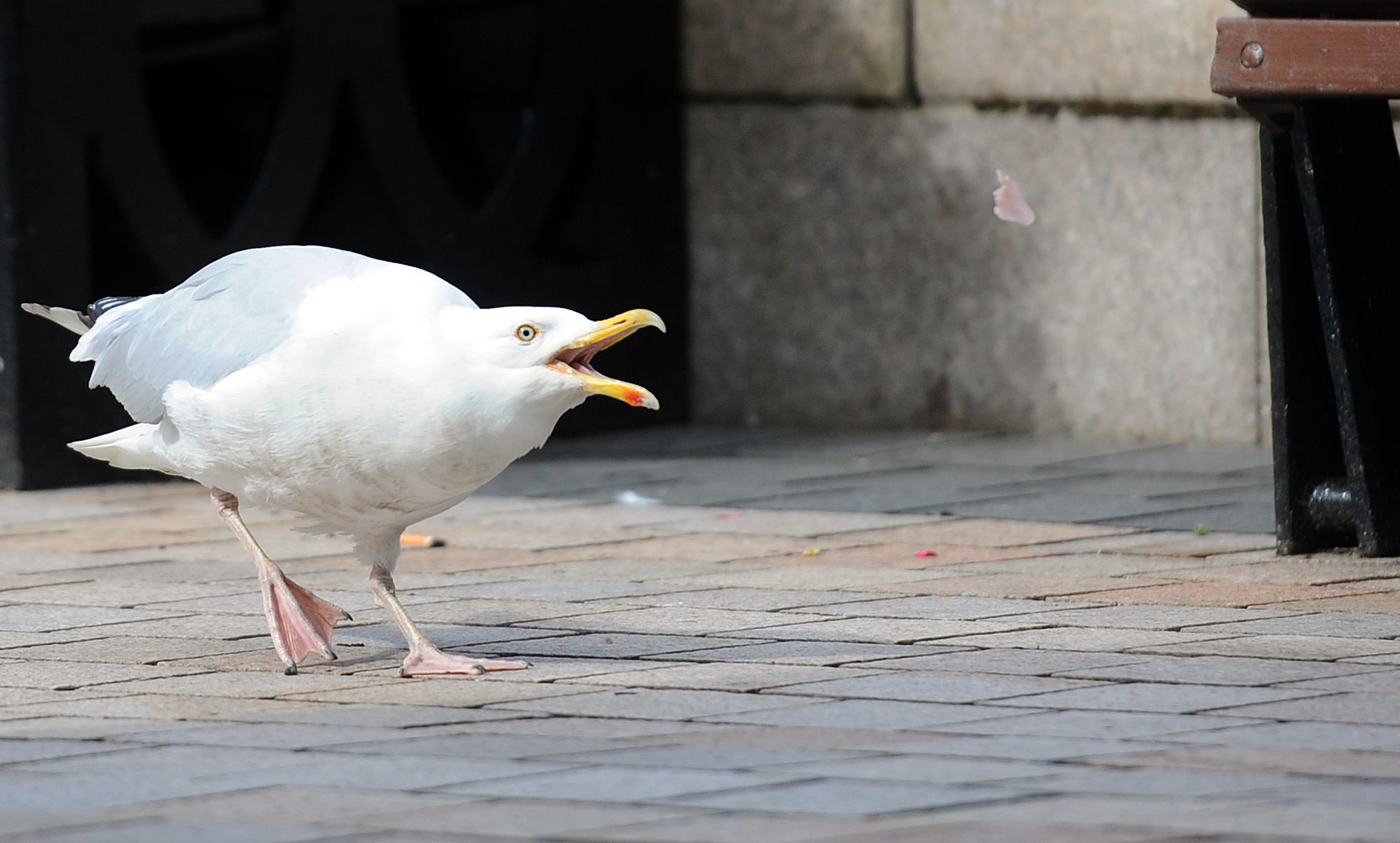 A seagull asserts its authority in Dundee city centre.