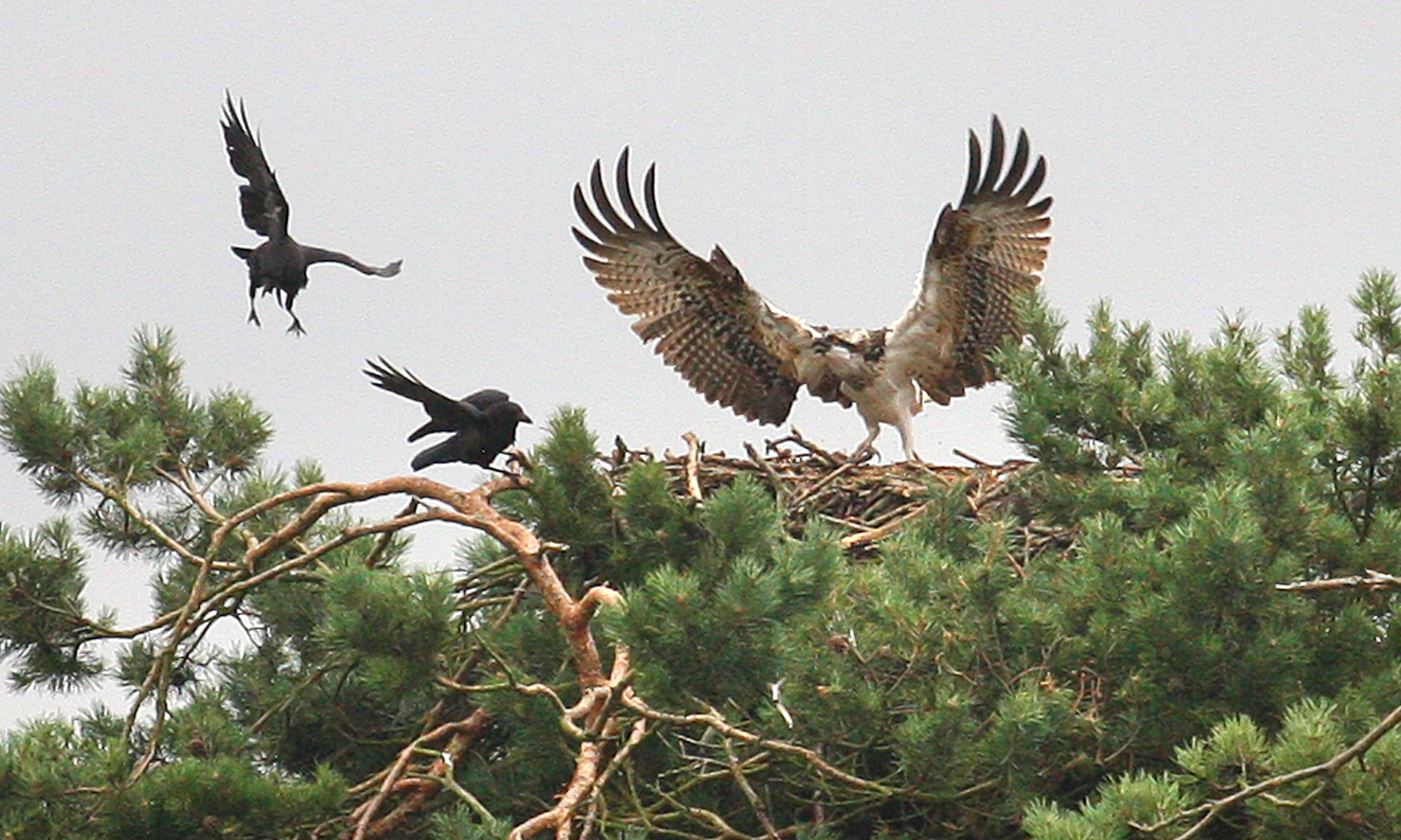 An osprey fighting off the attention of crows at Balgavies