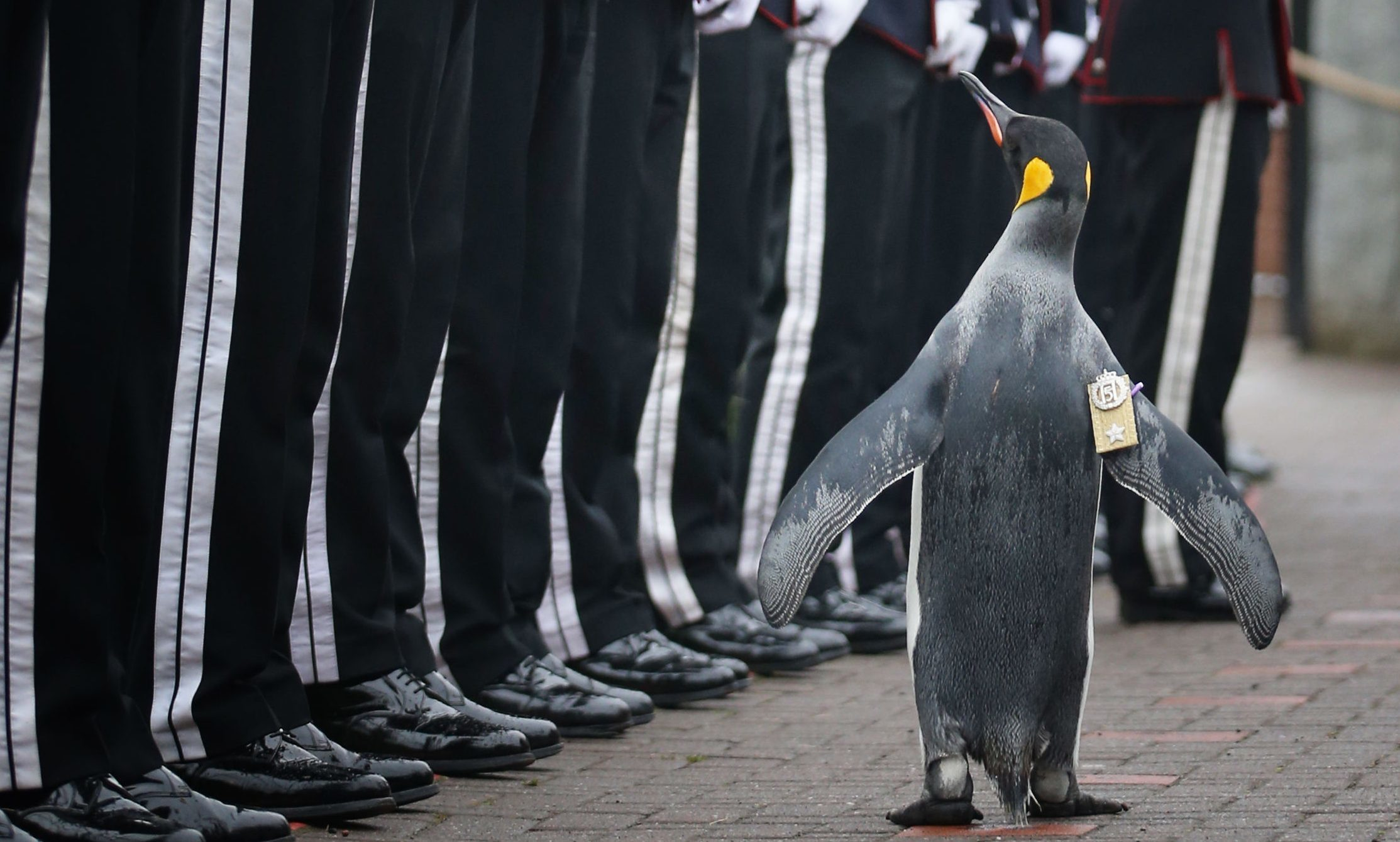 Uniformed soldiers of the King of Norway's Guard parade for inspection by their mascot, king penguin Nils Olav.