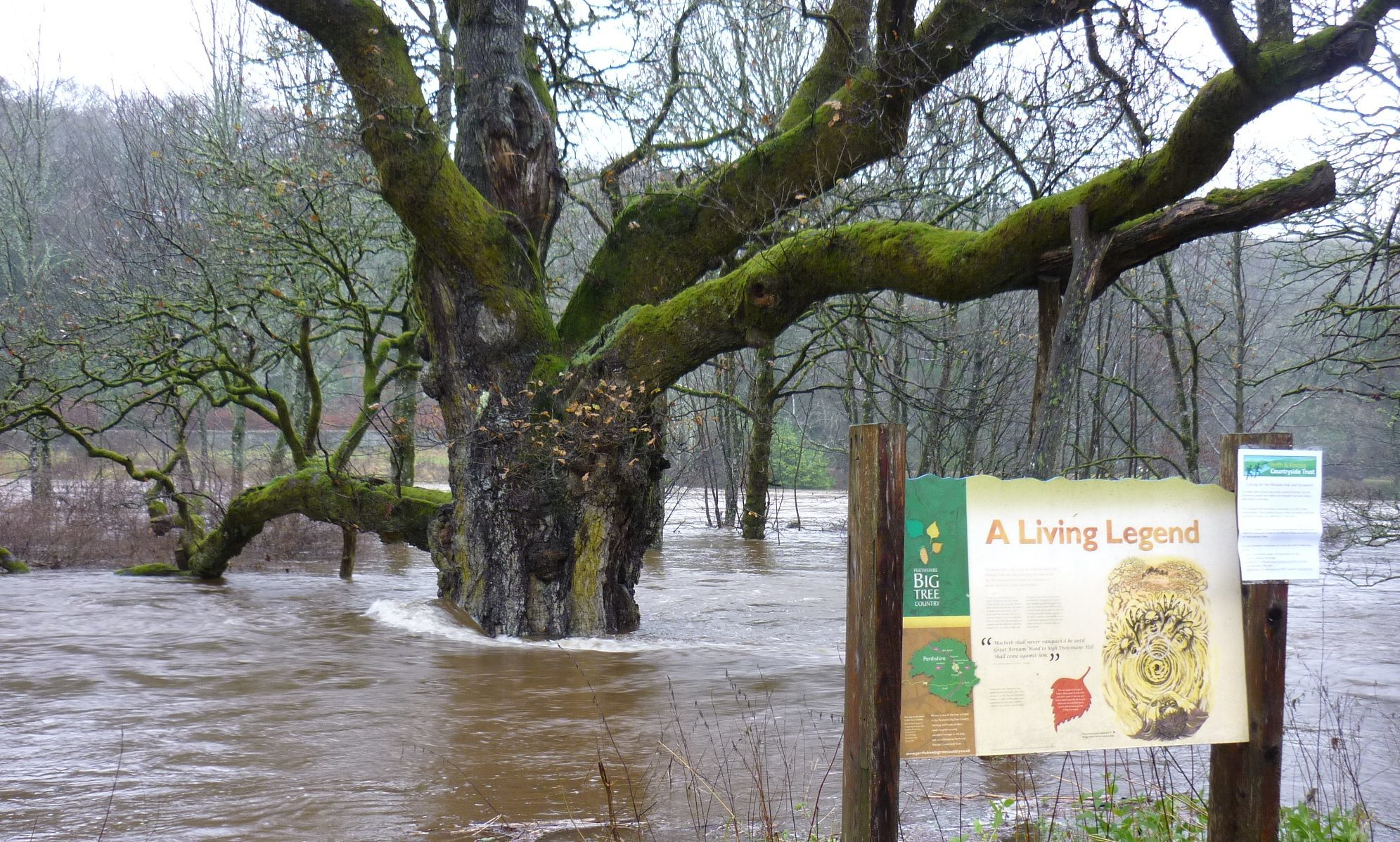 The Birnam Oak was hit by Storm Desmond last year