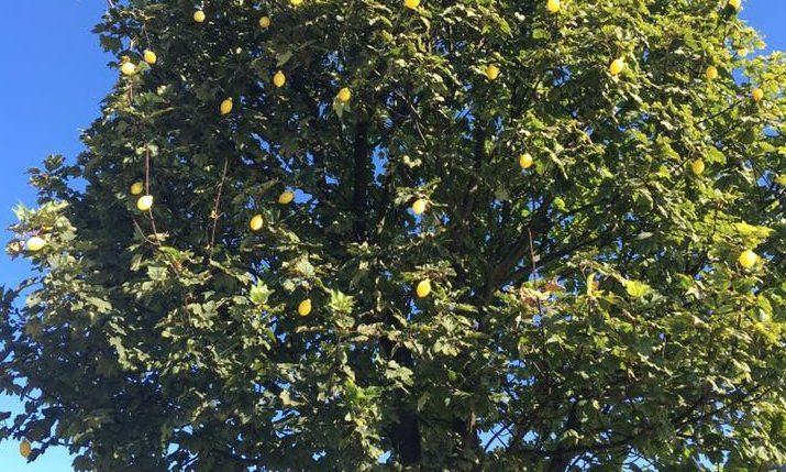 The Jif Lemon Tree has returned
