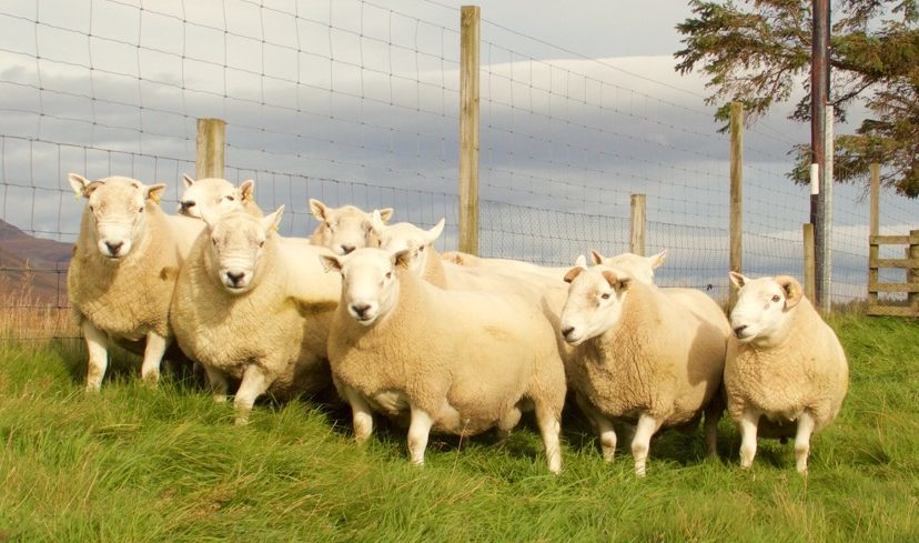 Sutherland farms and estates showed off their best tups ahead of the Lairg sale