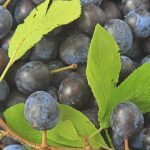 """Sloe"" harvest threatens gin supplies"