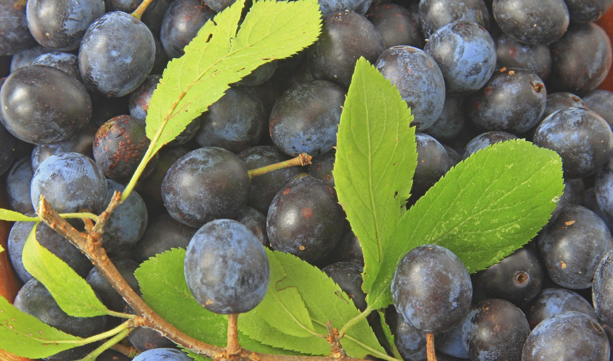 Sloes like these are vital for sloe gin production