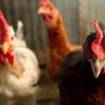Chicken farm plan gets residents in a flap