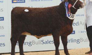 """Shorthorn Reserve Female Champion at Stirling Bull Sales today """" Eastmill Lovely June"""" from Firm of Doldy Farm, Eastmill Farm, Glenisla."""