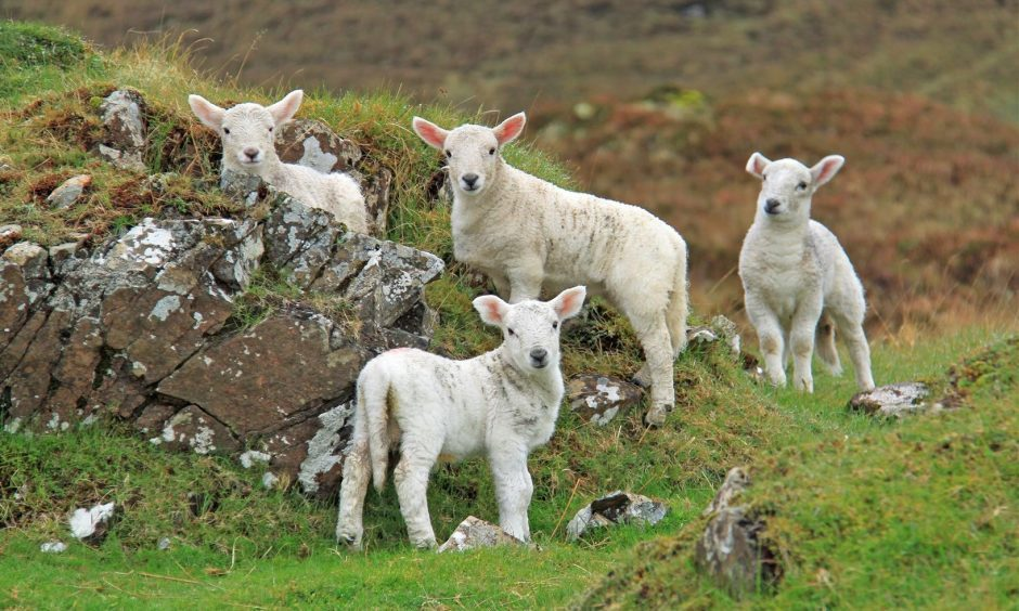 Apologies for sending another picture so soon but it might already be too late for lambs! If not here is one for consideration. The picture was taken at Uiginish (by Dunvegan) Skye two weeks ago by Sandy Sutherland, Fortrose. Regards,  Sandy Sutherland.