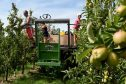 Polish workers thins trees in the Braeburn apple orchard at Stocks Farm in Worcestershire to improve the size and quality of the fruit so they are ready for harvest.