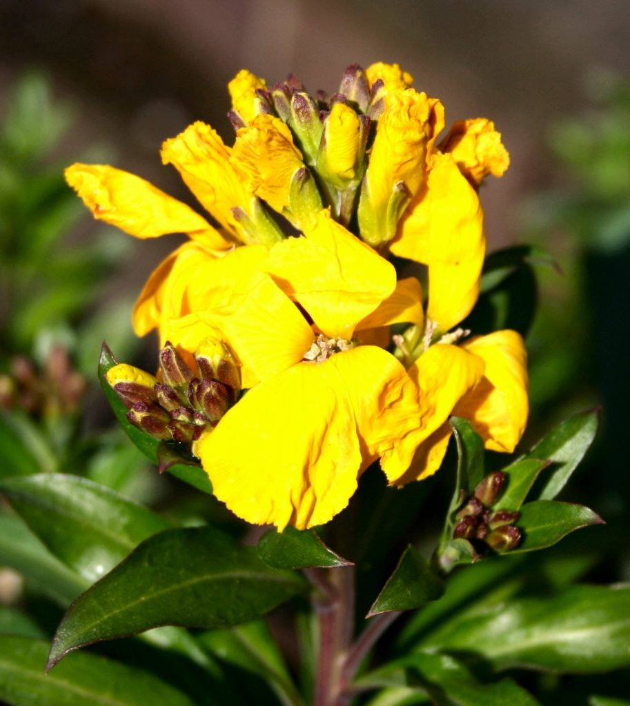 Wallflower starting to bloom