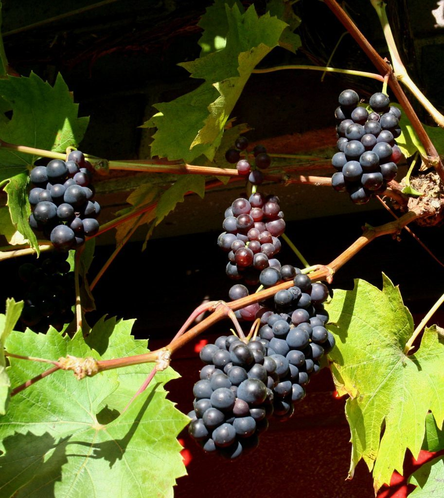 Brant grapes ready to pick