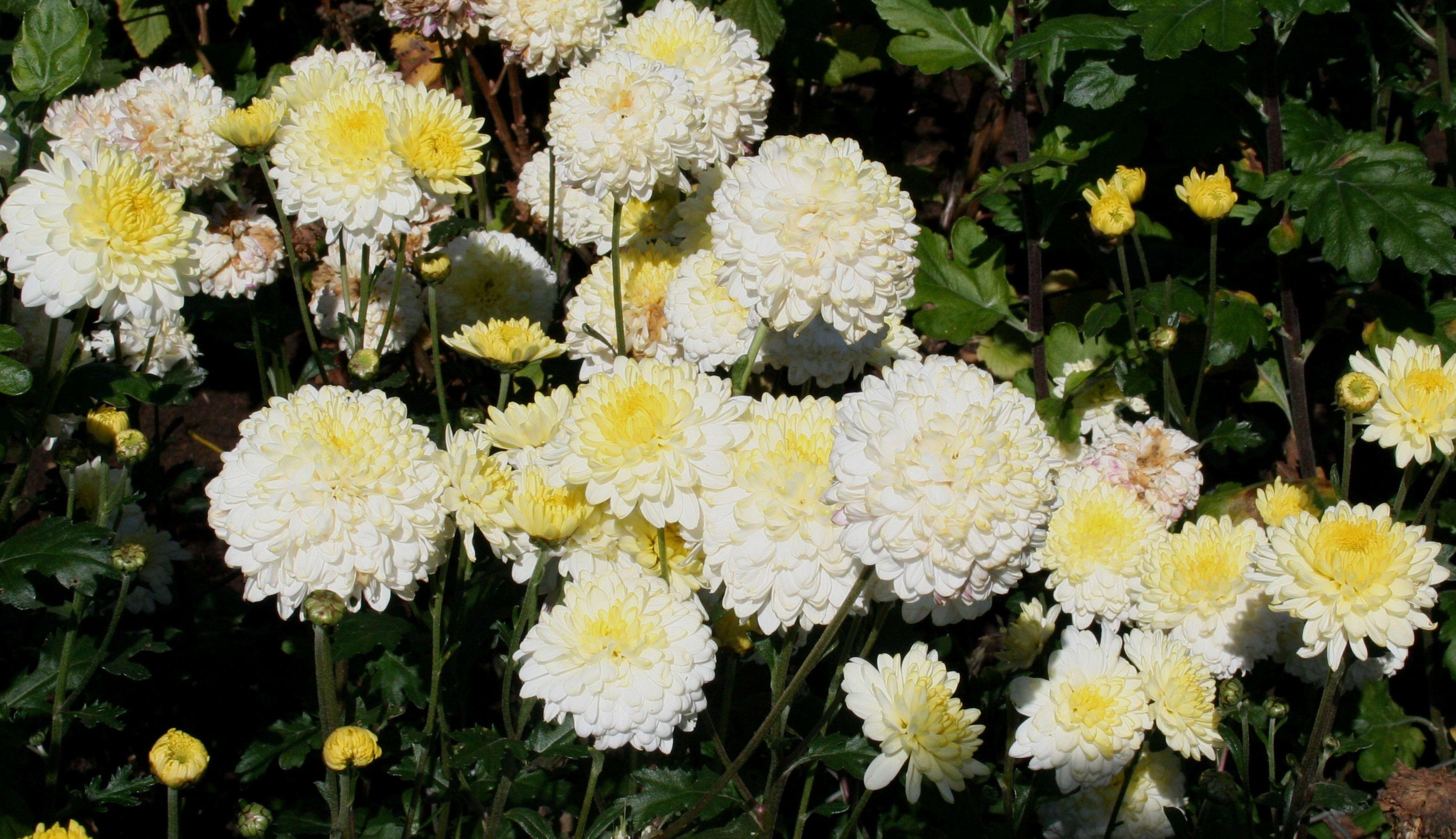 Chrysanthemum pennine ice