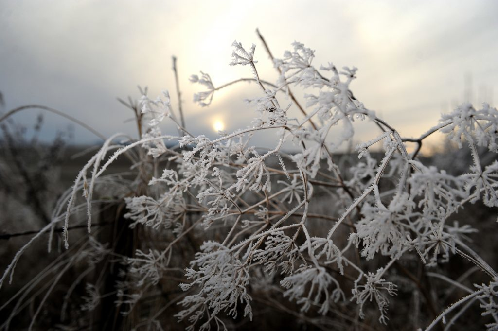 Perthshire, 2016. Sub zero temperatures add a decorative edge to weeds in the winter sunshine.
