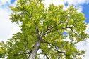 Ash Tree Upshot