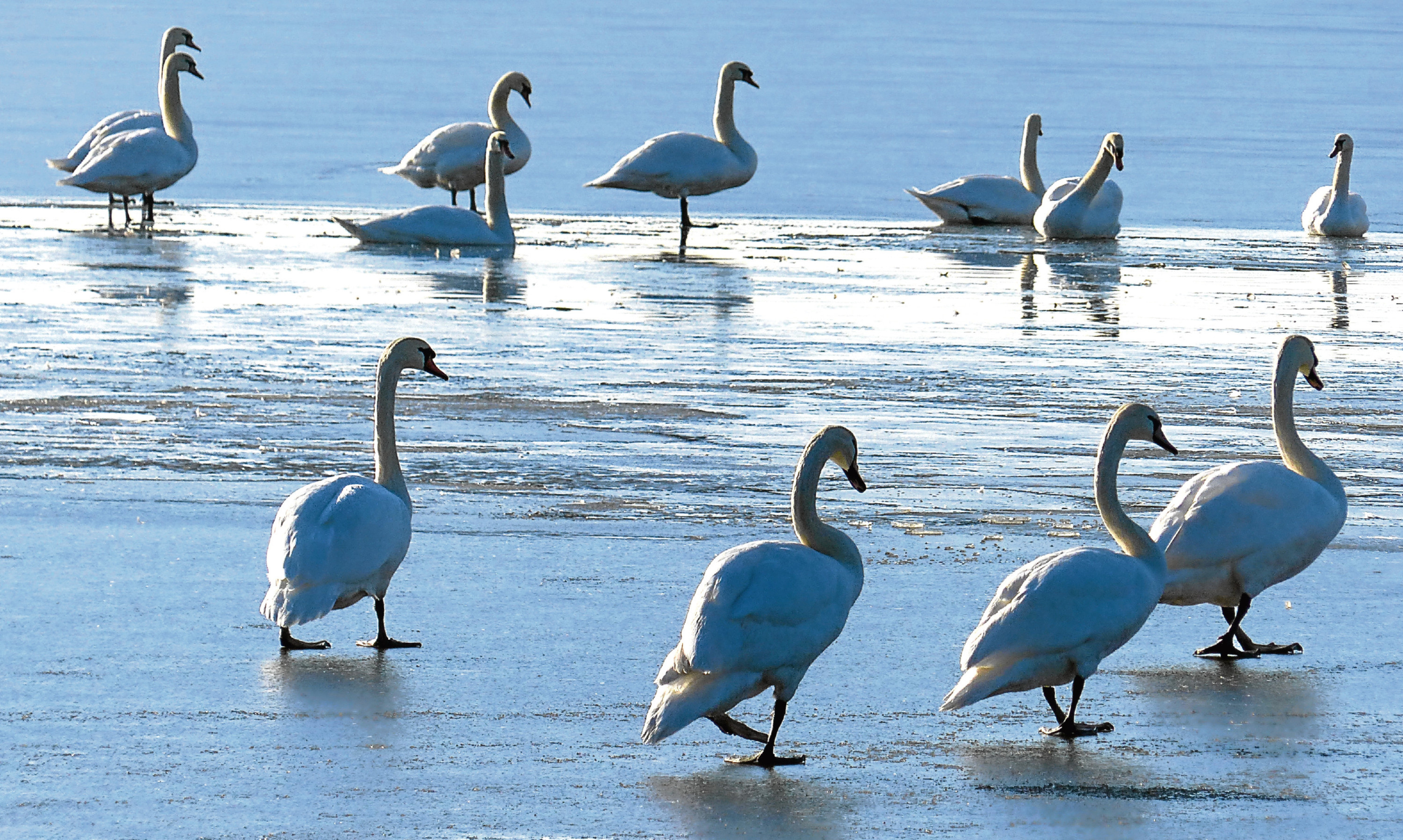 Swans on a frozen Loch Leven, yet none of them are white, showing Jim's fascination with the way artists see the world differently.