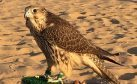 The Perthshire-bred peregrine falcon in the middle east.