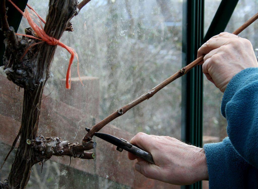 Spur pruning grape vines in winter