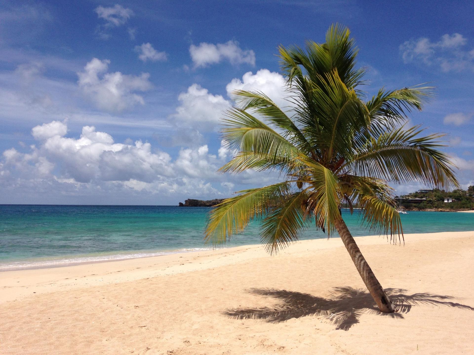 Palm tree on a beach in Antigua.