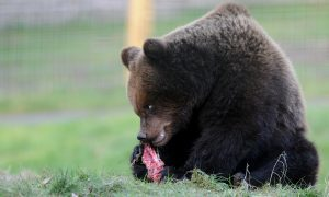 bear_main