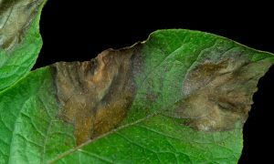 The E-nose could smell the earliest signals of diseases such as potato blight long before they become visually apparent