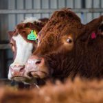 Study could pave way for low-emission cattle