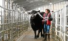 Caroline Orr from Halbeath Farm, Dunfermline, moves her Aberdeen Angus bull into the ring at Stirling bull sales.