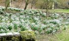 Snowdrops at Cambo, Fife, with a splash of golden aconites in the background.