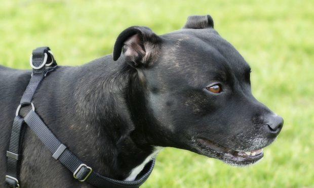 A Staffordshire Bull Terrier, similar to the one that attacked Neveah.