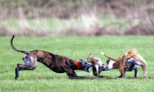 Hare coursing has been illegal in Scotland since 2002. Illegal activity could be responsible for a rise in the number of sheep worrying incidents.