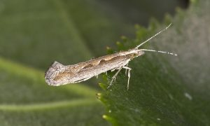 Diamondback moth.jpg (1)