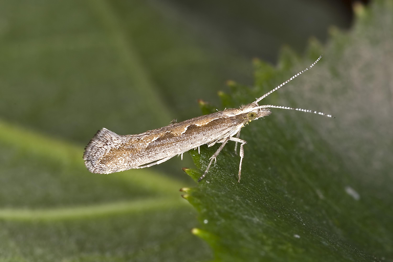 Diamondback moths caused unprecedented damage to brassicas in 2016