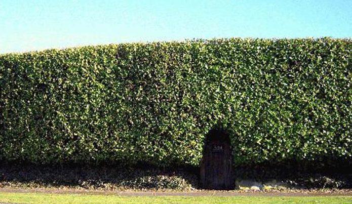 A high hedge