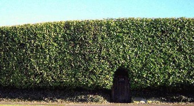 A high hedge