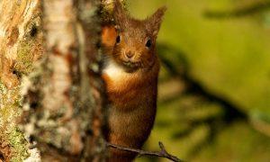 Red Squirrel, High Resolution 2 -® Stephen Willis