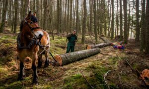 Andy Whitaker of Strathearn Horse Logging and Ghalm get to work on Fordie Estate near Comrie.
