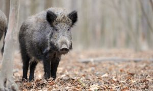 Wild boar on the loose: SNH invites Alyth community to meeting to discuss cull