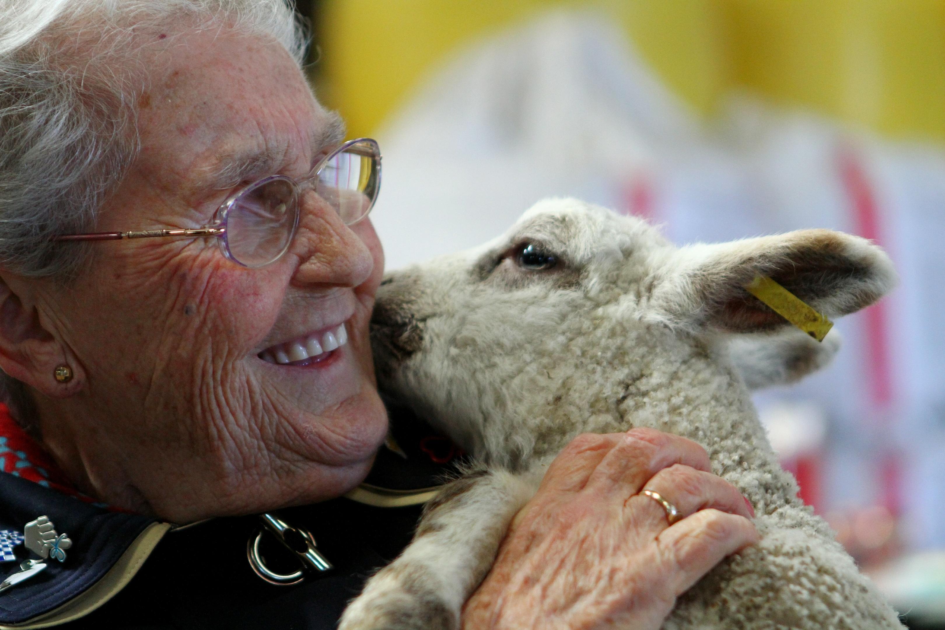 Josie the lamb shows her appreciation to Margaret