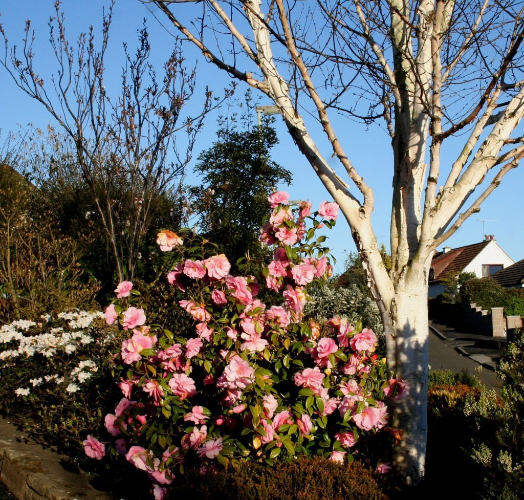Camelia Donation with Betula jaquemontii