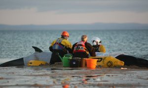 Rescuers attempt to save the minke whale stranded on Largo Bay