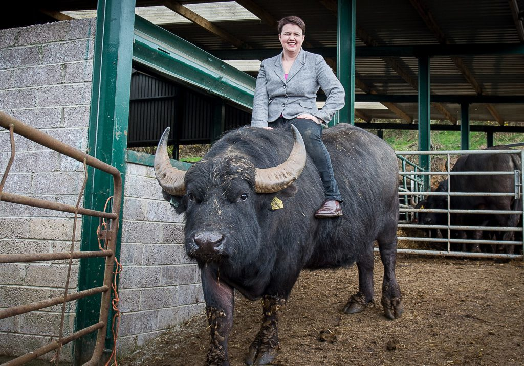 Leader of the Scottish Conservative party, Ruth Davidson, visited the Buffalo Farm in Auchtertool, Kirkaldy, Fife in May 2016.