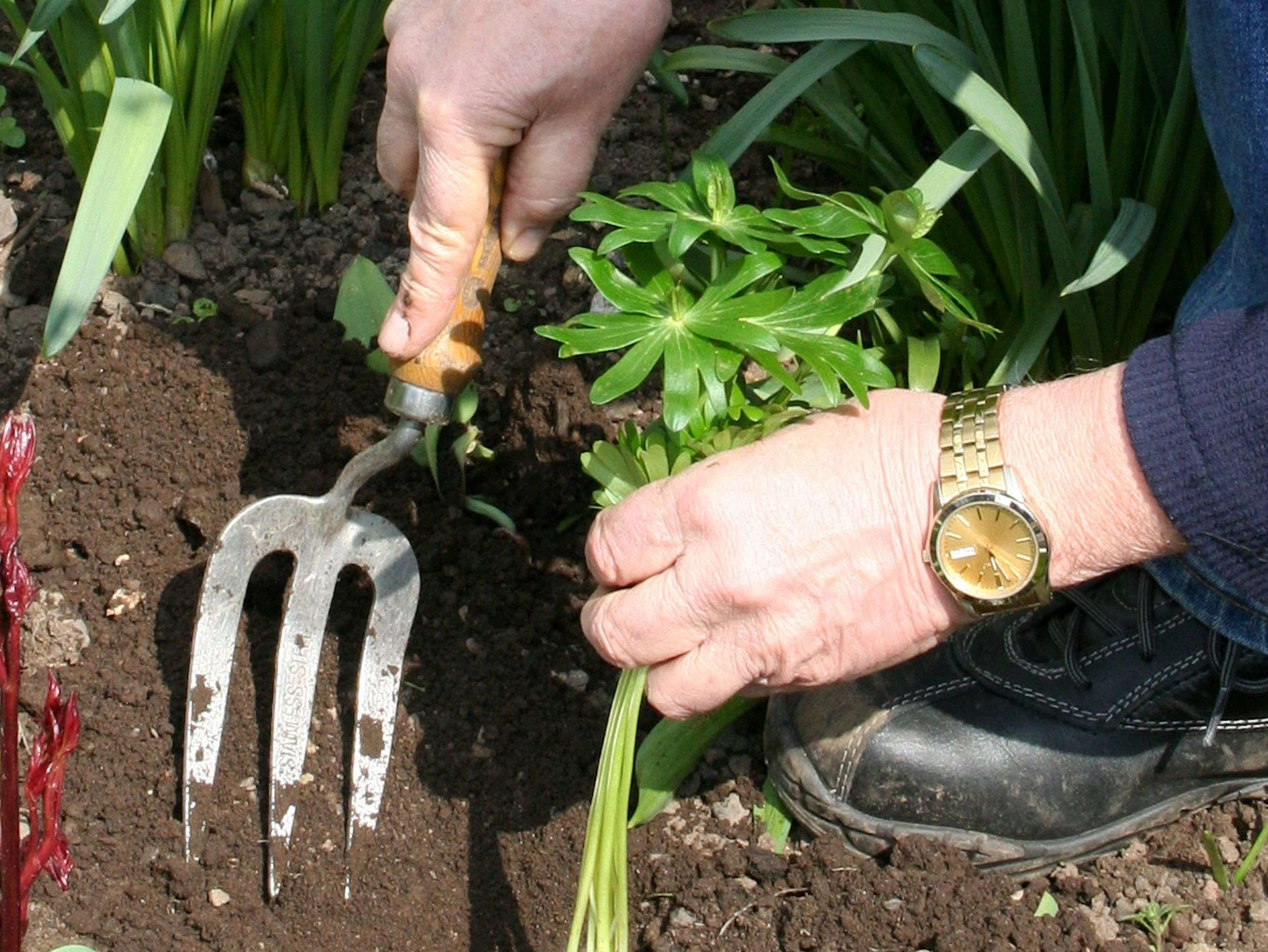Transplanting Aconites in the green