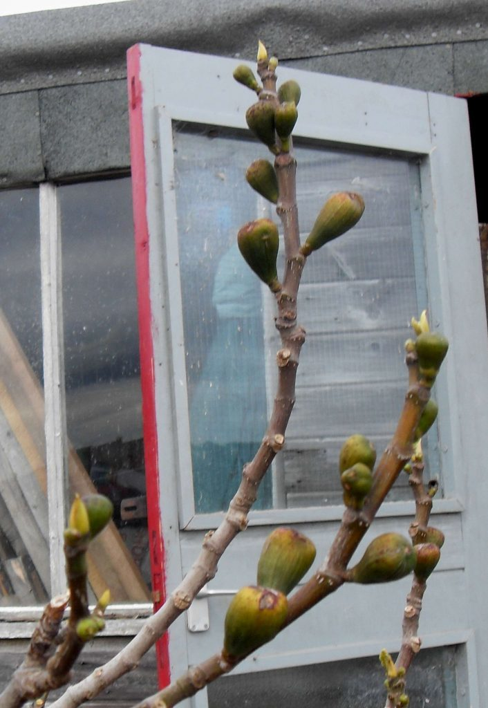 Young-figs-survived-in-the-mild-winter.