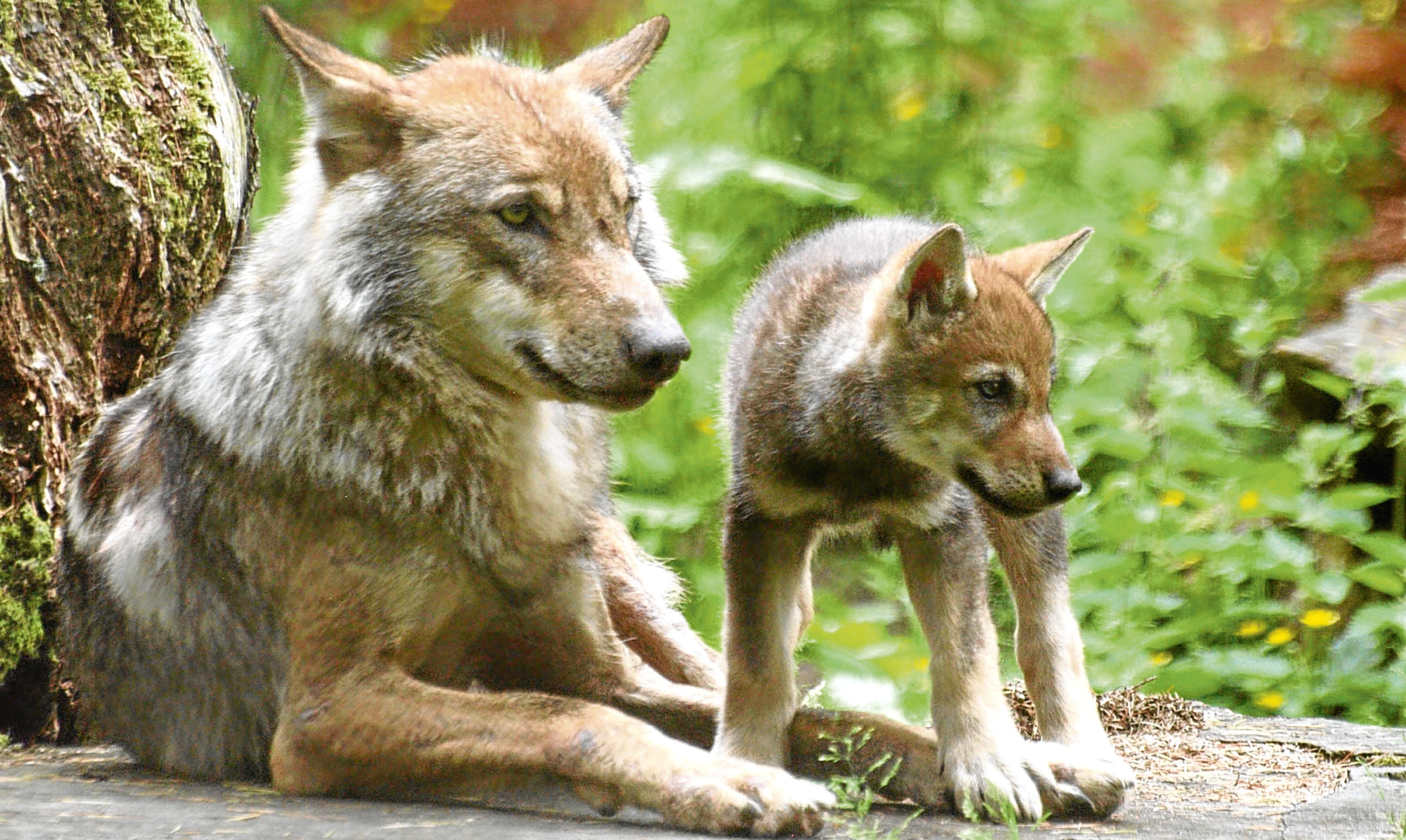 A wolf and cub in captivity at Camperdown Park in Dundee. The question of the animals reintroduction to the wild continues to spark heated debate.