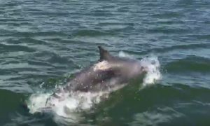 VIDEO: Pod of dolphins delights boat crew on the River Tay