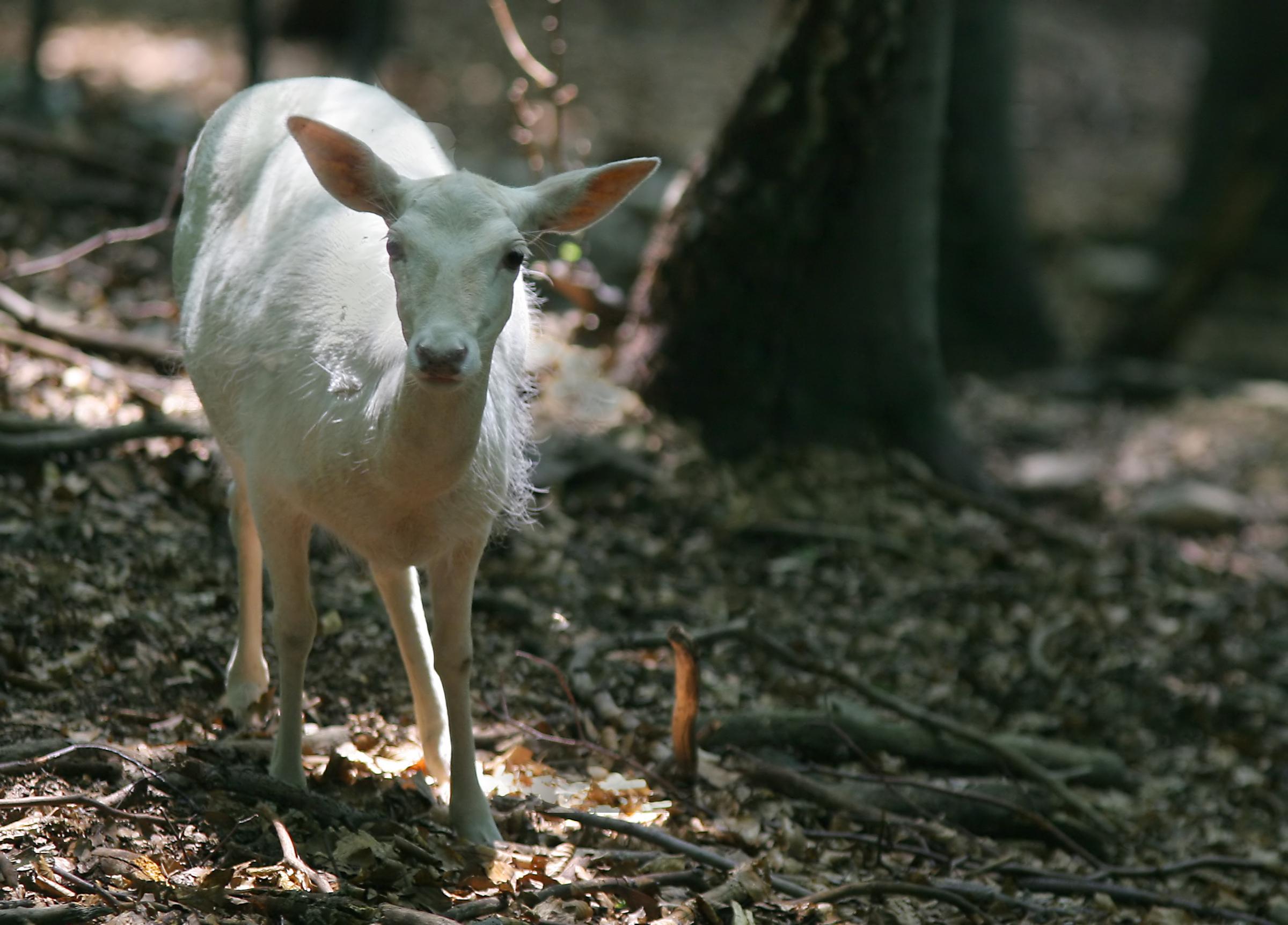 Animal in nature - white fallow deer