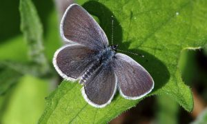 Carnoustie primary pupils' big effort for Small Blue butterfly