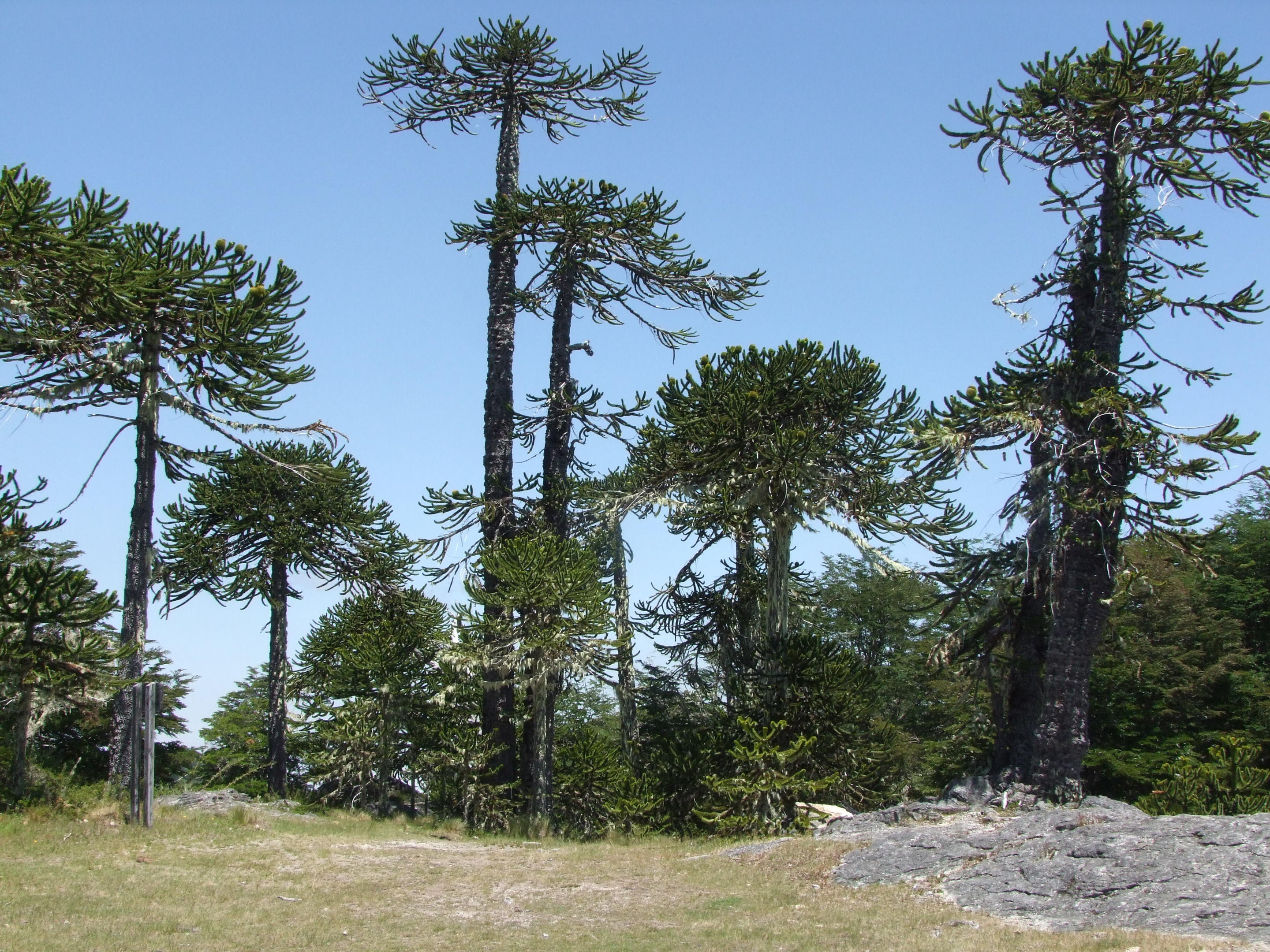 Giant examples of the monkey puzzle in its natural habitat in Chile. It is now an endangered species.