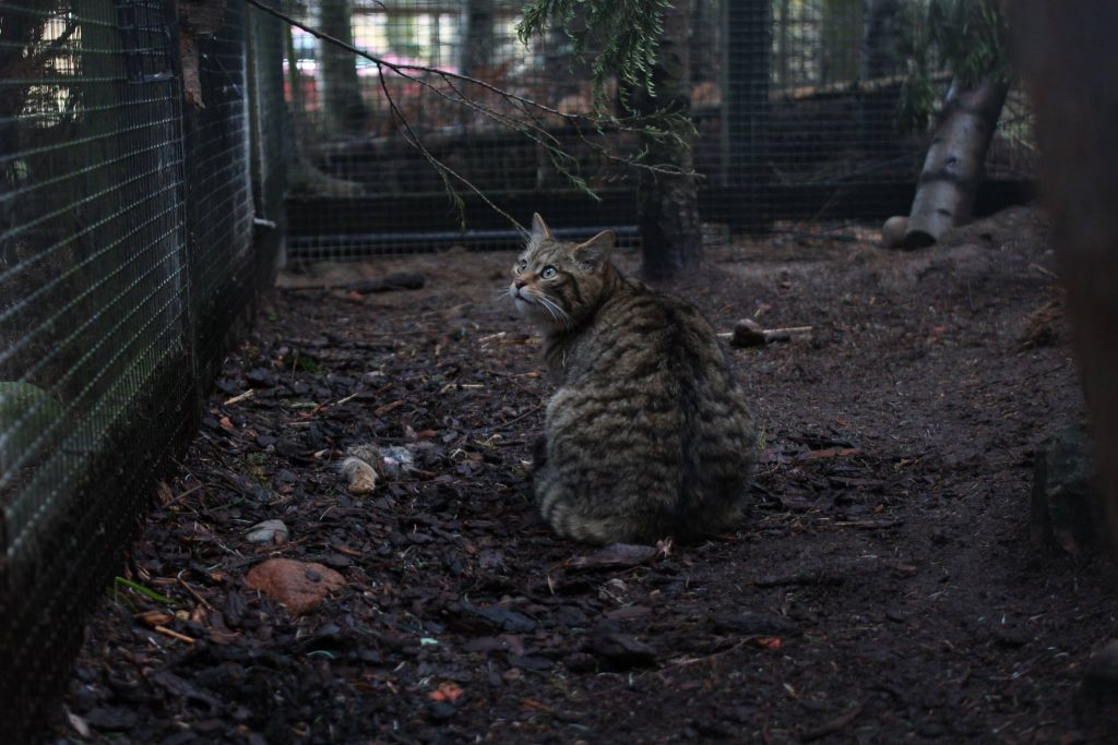 A Scottish wildcat in the Highland Wildlife Park.