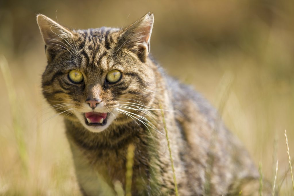 Scottish Wildcats are critically endangered.
