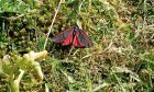 A colourful black and red cinnabar moth on heathland at St Cyrus Nature Reserve.