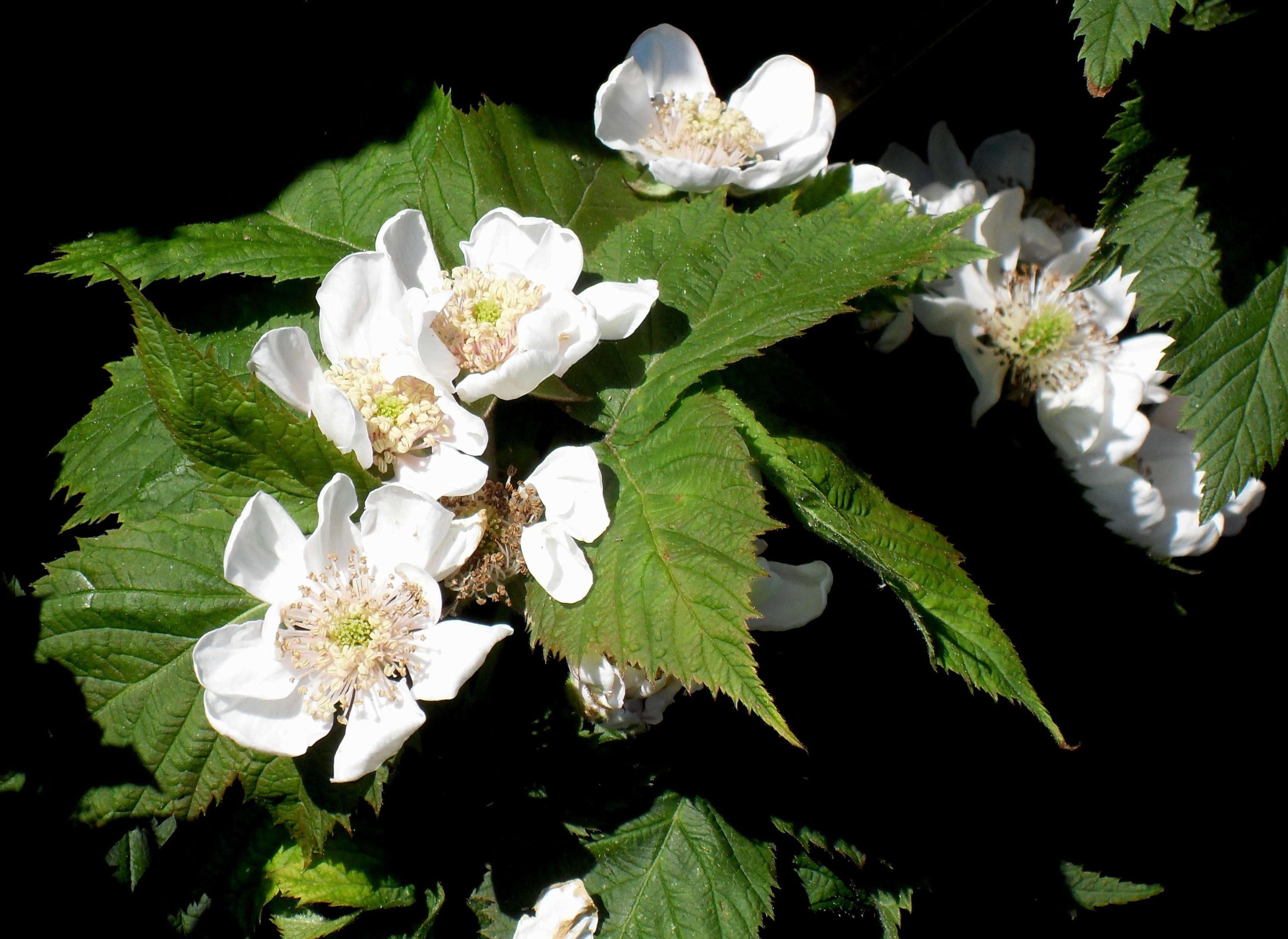 Bramble Helen in flower